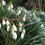 The Strength of Snowdrops – Springtime tips to nourish your liver.